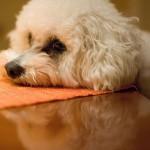 A kutyák is lehetnek allergiások!